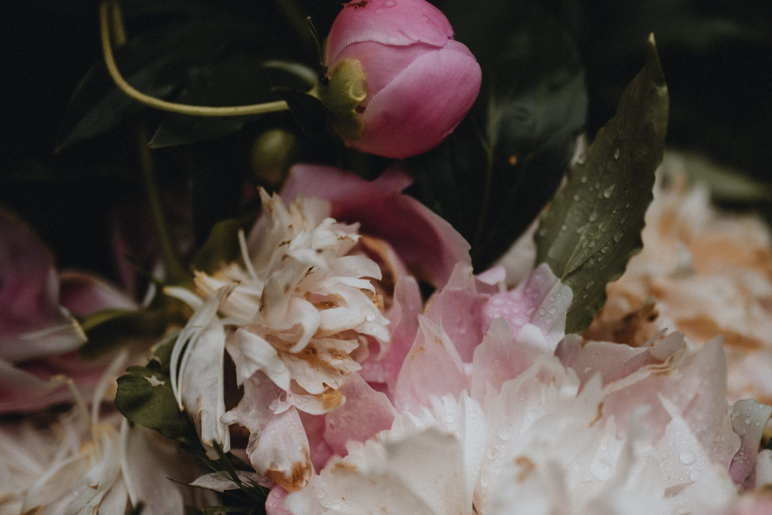 Dying pink peonies covered in raindrops